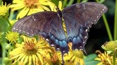 Female Tiger Swallowtail on Cup Plant (Silphium perfoliatum)