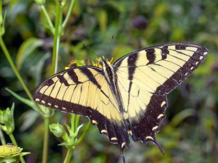 Male Tiger Swallowtail on Cup Plant (Silphium perfoliatum)