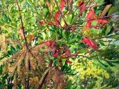 Swamp Titi (Cyrilla racemiflora)