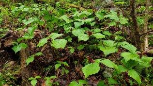 Maroon Wake Robin (Trillium erectum)
