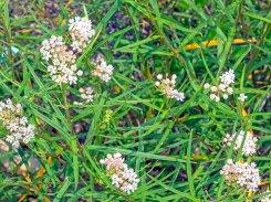 Unknown Milkweed