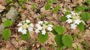 Hobble Bush (Viburnum lantanoides)
