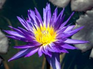 Waterlily (Nymphaea sp)