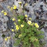 Whispering-bells (Emmenanthe penduliflora)