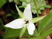 White-colored Wake Robin (Trillium erectum)