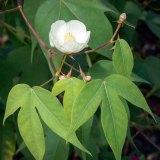 Wild Cotton (Gossypium thurberi)