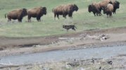 Wolf and Bison in Lamar Valley
