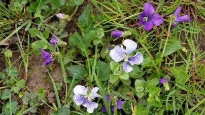 Confederate and Common Blue Violets (Viola sororia)