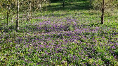 Sea of Common Blue Violets (Viola sororia)