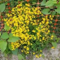 Batch of Golden Ragwort (Packera aurea)