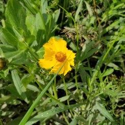 Lance-leaved Coreopsis (Coreopsis lanceolata) Blooom
