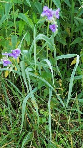 Virginia Spiderwort (Tradescantia virginiana) Plant
