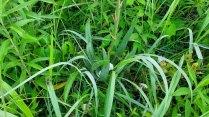 Yucca; Adam's Needle; Spanish Bayonet (Yucca filamentosa) Leaves
