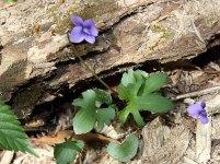 Three Lobed or Wood Violet (Viola palmata)