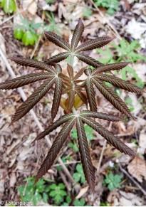 Yellow Buckeye (Aesculus flava)