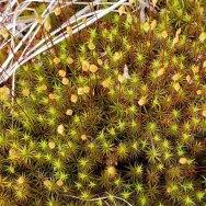 a Haircp Moss (Polytrichum sp.)