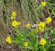 Early Winter Cress (Barbarea verna*)