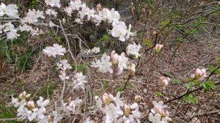 a White Pinkshell Azalea (Rhododendron vaseyi)
