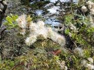 a Willow (Salix sp.)