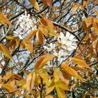 Allegheny Serviceberry (Amelanchier laevis)