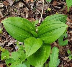 Appalachian Bunchflower (Veratrum parviflorum)