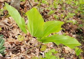 Biltmore Carrion Flower; Upright Smilax (Smilax biltmoreana) Blooms