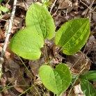 Biltmore Carrion Flower; Upright Smilax (Smilax biltmoreana)