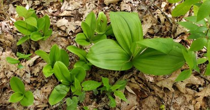 Clinton's Lily, White Clintonia (Clintonia umbellulata) & Appalachian Bunchflower (Veratrum parviflorum)