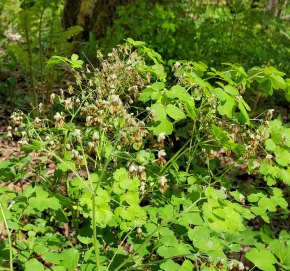 Early Meadow Rue (Thalictrum dioicum) Male Flowers