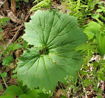 Great Indian Plantain (Arnoglossum reniforme)