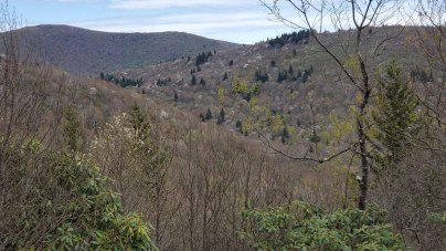 Hillside of Allegheny Serviceberry (Amelanchier laevis)