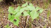 Maroon-colored Wake Robin (Trillium erectum)_100410