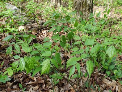 Mountain Bugbane; Late Black Cohosh (Actaea podocarpa)