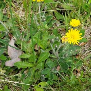 Cat's Ear (Hypochaeris radicata*) Leaves (L) & Mouse-ear Hawkweed (Hieracium pilosella*) (R)