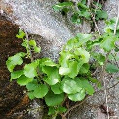 Oriental Bittersweet (Celastrus orbiculatus)*