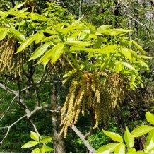 Pignut Hickory (Carya glabra) Blooms