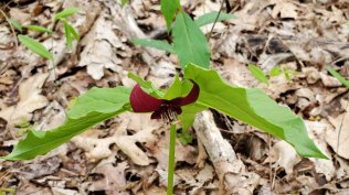 Southern Nodding Trillium (Trillium rugelii) Hybrid or Trillium vaseyi?