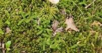 Running Club Moss (Lycopodium clavatum) & a Haircap Moss (Polytrichum sp.)