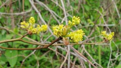 Sassafras (Sassafras albidum) Blooms