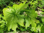 Umbrella Leaf (Diphylleia cymosa)