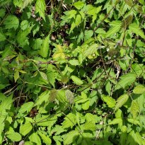 Virgin's Bower (Clematis virginiana)