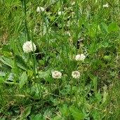 White Clover (Trifolium repens)*