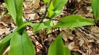 Wild Lily-of-the-Valley (Convallaria majalis var. montana)