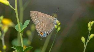 Hickory Hairstreak Butterfly (Satyrium caryaevorum)