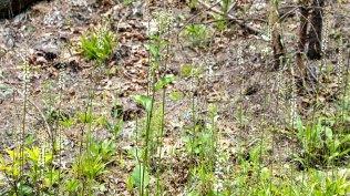 White Colicroot (Aletris farinosa)