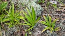White Colicroot (Aletris farinosa) basal leaves