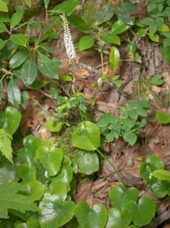 Beetleweed (Galax urceolata)