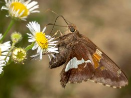 Silver-spotted Skipper Butterfly (Epargyeus clarus)