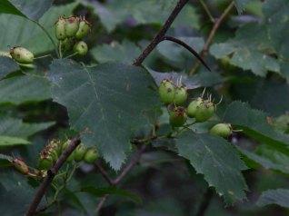 a Hawthorn Crataegus sp.) Fruit