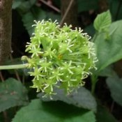 Carrion Flower (Smilax herbacea) Male Bloom